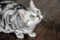 Close up of american shorthair cat. Close up of an american shorthair cat stock images
