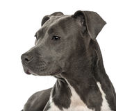 Close-up of an American Staffordshire Terrier Royalty Free Stock Photo