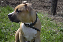 Close up of American Staffordshire Terrier Stock Photo