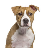 Close-up of an American Staffordshire Terrier puppy Royalty Free Stock Photos