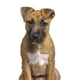 Close-up of American Staffordshire Terrier puppy Royalty Free Stock Photography