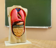 Close up of anatomical  model of a human body Stock Photos