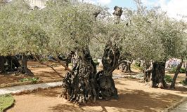 Ancient olive-tree in Garden of Gethsemane in Jerusalem Royalty Free Stock Photography