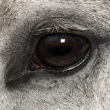 Close-up of an Andalusian eye, 7 years old, also known as the Pure Spanish Horse Royalty Free Stock Photography