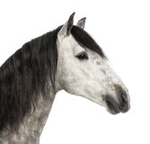 Close-up of an Andalusian head, 7 years old, also known as the Pure Spanish Horse or PRE Royalty Free Stock Photography