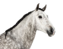 Close-up of an Andalusian head, 7 years old, also known as the Pure Spanish Horse or PRE Stock Image