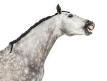 Close-up of an Andalusian head, 7 years old, making a face, stretching its neck, also known as the Pure Spanish Horse or PRE Stock Photography
