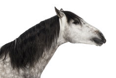 Close-up of an Andalusian head, 7 years old, outstretched, also known as the Pure Spanish Horse or PRE stock image
