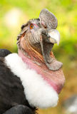 Close Up Of An Andean Condor Stock Images