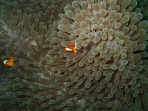 Close-up anemone. Macro anemone and clownfish. Andaman sea. Similan islands stock images