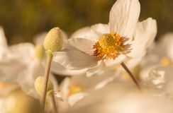 Japanese Anemone hupehensis. Close up of an Anemone hupehensis var. japonica royalty free stock photo