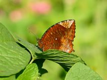 A close up of angled castor butterfly. A angled castor butterfly with closed wings perching in green leaf. Brush-footed butterfly with closed wings Royalty Free Stock Photography