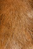 Close up of anglo nubian sheep wool Stock Photography