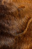 Close up of anglo nubian sheep wool Stock Image