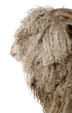 Close-up of Angora goat. In front of white background Royalty Free Stock Photo