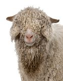 Close-up of Angora goat in front of white background royalty free stock image