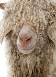 Close-up of Angora goat in front of white background stock photography