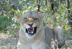 Close-up of angry lion with fletching teeth Royalty Free Stock Image