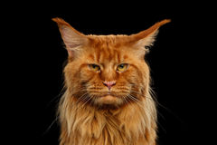 Close-up Angry Red Maine Coon Cat Looks Camera, Isolated Black. Close-up Portrait of Angry Red Maine Coon Cat with Funny Chin Looks in Camera Isolated on Black stock photo