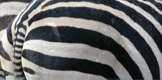Close-up of Animal. Close-up zebra skin for background Stock Photography