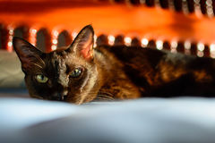 Close up animal brown cat sleeping in bed and light bokeh backgr. Ound. selective focus eye and lowkey Royalty Free Stock Image