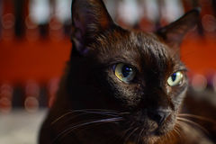 Close up animal brown cat sleeping in bed and light bokeh backgr. Ound. selective focus eye and lowkey Stock Photos