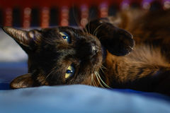Close up animal brown cat sleeping in bed and light bokeh backgr. Ound. selective focus eye and lowkey Stock Image