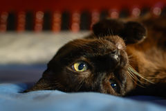 Close up animal brown cat sleeping in bed and light bokeh backgr. Ound. selective focus eye and lowkey Royalty Free Stock Photography