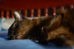 Close up animal brown cat sleeping in bed and light bokeh backgr. Ound. selective focus eye and lowkey Stock Photography