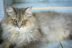Close up animal Persian cat sleeping in bed and light blur backg. Round. selective focus Stock Images