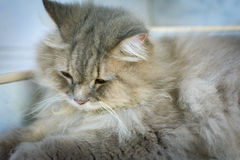 Close up animal Persian cat sleeping in bed and light blur backg. Round. selective focus Stock Photography