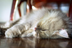 Close up animal Persian cat sleeping in bed and light blur backg. Round. selective focus Royalty Free Stock Images