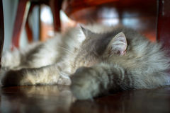 Close up animal Persian cat sleeping in bed and light blur backg. Round. selective focus Royalty Free Stock Photo