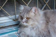 Close up animal Persian cat sleeping in bed. Selective focus Stock Photos