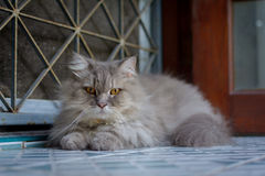 Close up animal Persian cat sleeping in bed. Selective focus Royalty Free Stock Photos