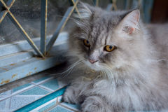 Close up animal Persian cat sleeping in bed. Selective focus Royalty Free Stock Photography