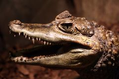 Close up animal portrait of crocodile. With open mouth showing teeth Royalty Free Stock Photography