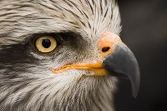 Eagle bird animal portrait. Close-up animal portrait of eagle or falcon on gray background, macro Stock Photos