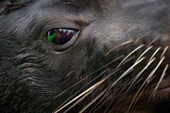 Close-up animal portrait with group of people mirror in big eye. Cape Brown fur seal, Arctocephalus pusillus, detail of head with. Reflection. Art view nature royalty free stock images