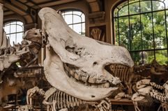 Close-up of animal skull at hall in Gallery of Paleontology and Comparative Anatomy at Paris. Paris, northern France - July 10, 2017. Close-up of animal skull royalty free stock images