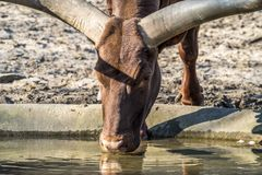 Close-up of an Ankole cattle drinking water Stock Photos