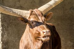 Close-up of an Ankole cattle .