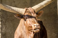 Close-up of an Ankole cattle . Stock Photos