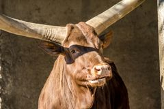 Close-up of an Ankole cattle . Stock Photo