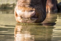 Close-up of an Ankole cattle drinking water