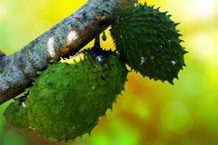 Close-up Annona muricata met ochtendzonneschijn stock fotografie