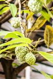 Close up Annona squamosa or custard apple fruite on the tree Royalty Free Stock Photos