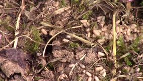 Close up of an ant's nest. stock video