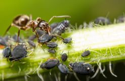 Close-up of an ant and aphid Royalty Free Stock Images