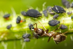 Close-up of an ant and aphid Stock Photos